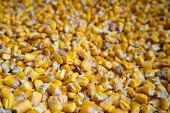 动物饲养的黄色玉米玉米 免版税库存照片
