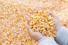 动物饲养产业在手中和模糊的玉米种子的玉米种子 免版税库存图片