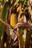 动物饲养玉米的领域与黄色玉米棒的 免版税库存照片