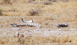 动物骨头 免版税库存照片