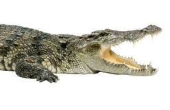 动物鳄鱼野生生物 图库摄影