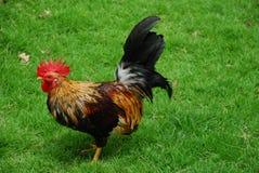 动物鸡 库存照片
