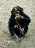 动物黑猩猩平底锅穴居人 库存照片