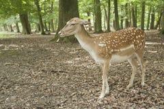 动物黑色鹿休耕森林原野 图库摄影