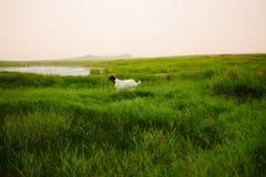 动物:一只白色山羊 库存照片