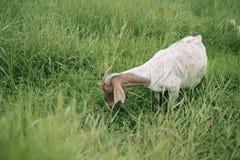 动物:一只白色山羊 库存图片