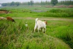 动物:一只白色山羊 免版税库存图片