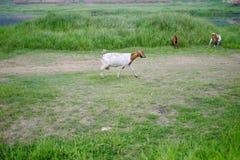 动物:一只白色山羊 免版税库存照片