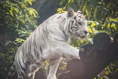 动物:白色老虎走 免版税库存图片