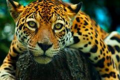 动物:豹子 免版税图库摄影