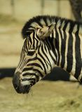 动物-一匹斑马的头画象在动物园的 库存照片