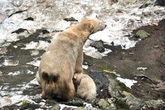 动物-北极熊和年轻人 库存图片