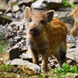动物-在狂放的野公猪 SU Scrofa 库存图片