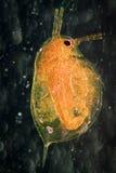 动物水蚤 免版税库存图片