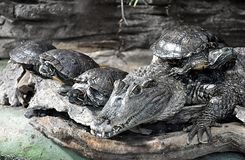 动物-鳄鱼和乌龟 免版税库存照片