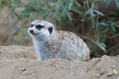 动物meerkat 免版税库存图片