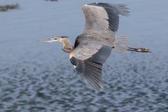 滑动的伟大蓝色的苍鹭的巢  库存照片