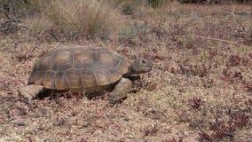移动的沙漠龟  股票视频