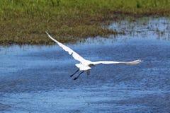 滑动的白色苍鹭 免版税图库摄影