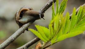 移动的葡萄园蜗牛在树枝夏天,公园,特写镜头, 免版税图库摄影