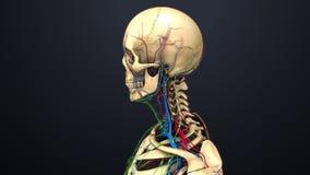 动脉、静脉和淋巴结有头骨侧面视图 向量例证