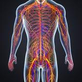 动脉、静脉和神经有人体的 库存例证
