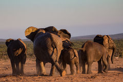 移动通过非洲灌木的大象牧群 免版税库存照片