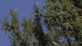 移动风的杉树 股票视频