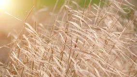 移动风的美丽的长的草 草地早熟禾背景 股票录像