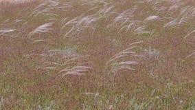 移动风的美丽的长的草 股票视频