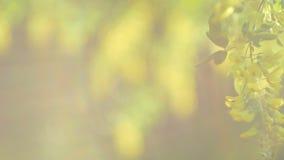 移动从轻微的风的黄色金合欢开花分支在黄色sinlight的晚上飘动 影视素材