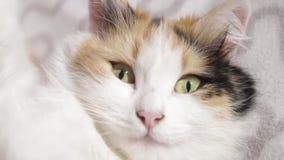 助长英国猫关闭眼睛眼睛头发的照片短小 关闭 一只蓬松猫的枪口的片段与眼睛的,猫有黄色,眼睛 股票录像