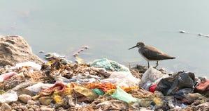 努力长嘴鸟的长嘴半蹼鹬生存由于污染 免版税库存照片