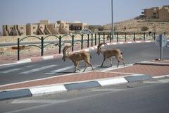 努比亚人高地山羊横穿街道在Mitzpe拉蒙,Neqev沙漠,以色列 库存图片