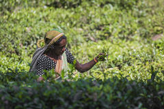 努沃勒埃利耶,斯里兰卡- 12月02 :在茶的女性茶捡取器 免版税图库摄影