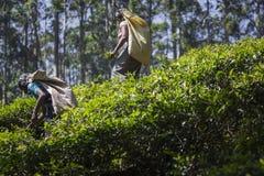 努沃勒埃利耶,斯里兰卡- 12月02 :在茶的女性茶捡取器 免版税库存照片