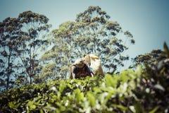 努沃勒埃利耶,斯里兰卡- 12月02 :在茶的女性茶捡取器 免版税库存图片