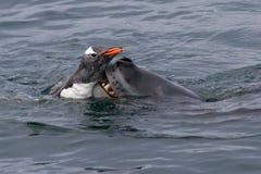 劫掠gentoo企鹅的豹子封印 免版税库存照片