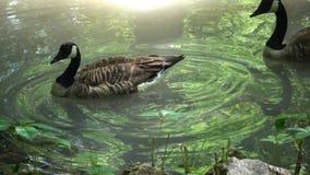 勃兰特在水,反射在水中漂浮 股票录像