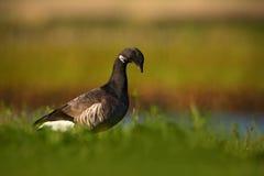 勃兰特或黑雁鹅,黑雁bernicla,黑白鸟在水中,动物在自然草栖所,法国 免版税库存照片