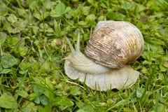勃艮第可食的螺旋pomatia罗马蜗牛 库存图片