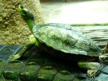 勇敢的乌龟 库存照片