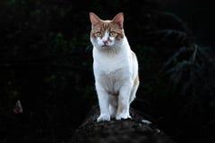 勇敢的白色和红色小猫在森林里 库存照片