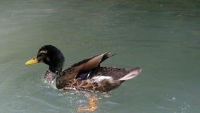 勇敢的雄鸭在一个湖挥动他的翼在夏天在slo mo 影视素材