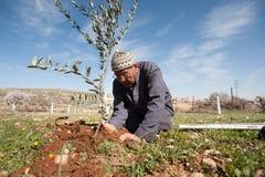 巴勒斯坦橄榄树种植 库存图片