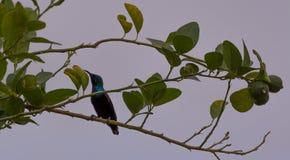 巴勒斯坦Sunbird 图库摄影