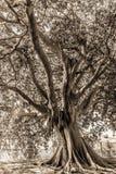 巴勒莫古老树 免版税库存照片