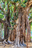 巴勒莫古老树 库存照片