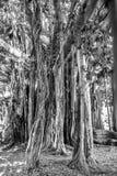 巴勒莫古老树 免版税库存图片
