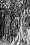 巴勒莫古老树 库存图片